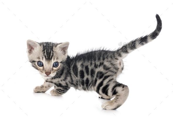 munchkin bengal kitten - Stock Photo - Images
