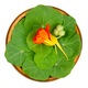 Garden nasturtium, leaves, flower and unripe seed pod in wooden bowl - PhotoDune Item for Sale