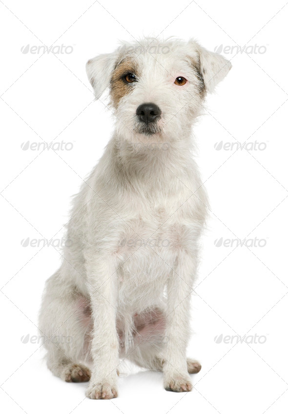 Parson Russell Terrier sitting in front of white background - Stock Photo - Images