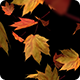 Falling Maple Leaves on Transparent Background - 4 Clips - VideoHive Item for Sale