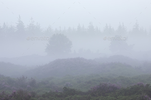 foggy  morning over hills with heather and forest - Stock Photo - Images
