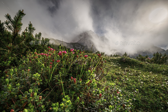 Rhododendron flowers in foggy mountains - Stock Photo - Images