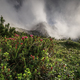 Rhododendron flowers in foggy mountains - PhotoDune Item for Sale