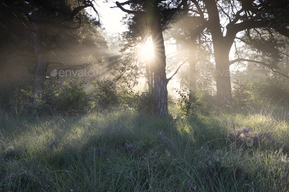 beautiful misty sunrise in forest with heather - Stock Photo - Images