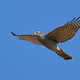 Eurasian sparrowhawk (Accipiter nisus) - PhotoDune Item for Sale