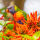 Rainbow Lorikeet on Coral Tree - PhotoDune Item for Sale