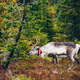 Beautiful reindeer in fall forest in Lapland, Finland. - PhotoDune Item for Sale