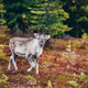 Young reindeer in fall forest in Finland. - PhotoDune Item for Sale