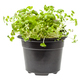 side view of green mustard cress in pot isolated - PhotoDune Item for Sale