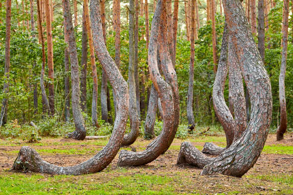 Crooked Forest. - Stock Photo - Images