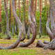 Crooked Forest. - PhotoDune Item for Sale