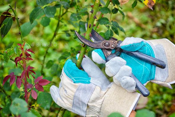 Pruning roses in the garden, gardener's hands with secateurs - Stock Photo - Images