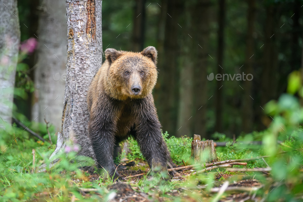 Wild adult Brown Bear ( Ursus Arctos ) in the summer forest - Stock Photo - Images