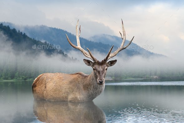 Beautiful deer stag swimming in lake on mountain landscape with fog - Stock Photo - Images
