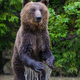 Funny wild adult Brown Bear (Ursus Arctos) standing on his hind legs in the water - PhotoDune Item for Sale