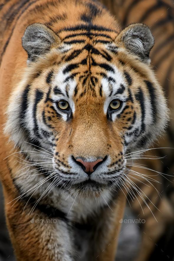 Close-up detail portrait of big Siberian or Amur tiger - Stock Photo - Images