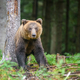 Wild adult Brown Bear ( Ursus Arctos ) in the summer forest - PhotoDune Item for Sale