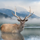 Beautiful deer stag swimming in lake on mountain landscape with fog - PhotoDune Item for Sale