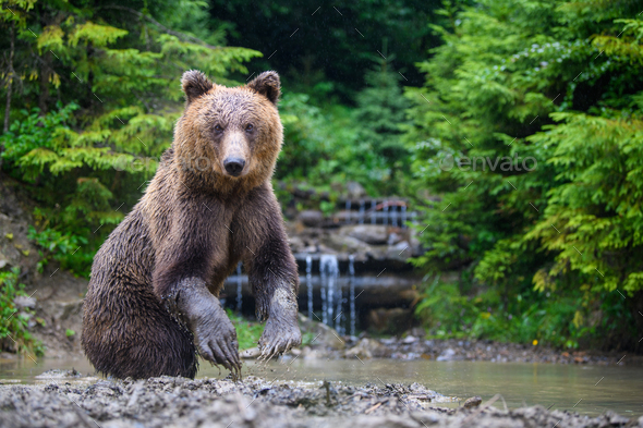 Funny wild adult Brown Bear (Ursus Arctos) standing on his hind legs in the water - Stock Photo - Images