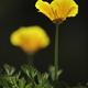 Golden poppy flowers under bright sun. - PhotoDune Item for Sale
