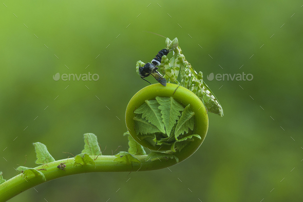 Praying Mantis Eats a Fly on Curl Leaf - Stock Photo - Images