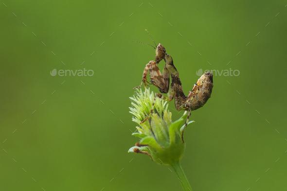 Praying Mantis Sitting on a Flower - Stock Photo - Images