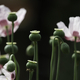 Close up of flowers and seed pod of opium poppy, Papaver somniferum. - PhotoDune Item for Sale