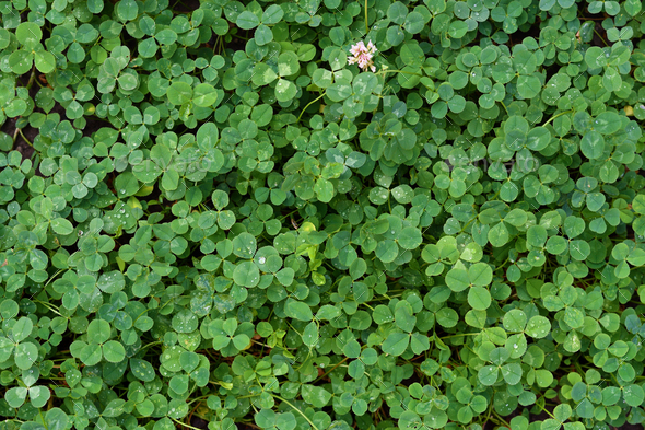 Natural background of green clover - Stock Photo - Images