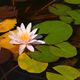 Water lily in pond close-up - PhotoDune Item for Sale