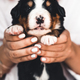 Bernese mountain dog puppy in female hands, care for animals, newborns - PhotoDune Item for Sale