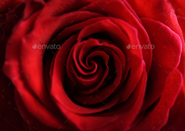 Red roses closeup - Stock Photo - Images