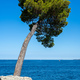 Lonely pine tree by the sea - PhotoDune Item for Sale