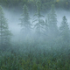 Pine trees in morning mist in northern Minnesota - PhotoDune Item for Sale