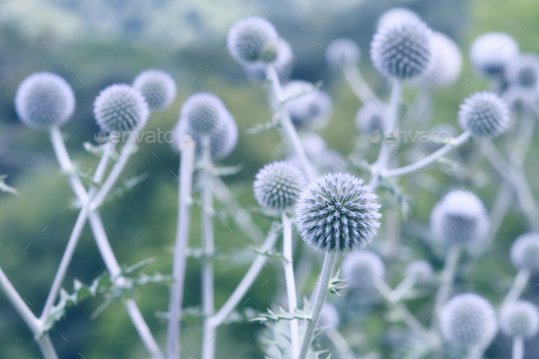 Globe thistle flowers toned in blue - Stock Photo - Images