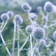 Globe thistle flowers toned in blue - PhotoDune Item for Sale