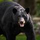 A Black Bear Portrait in Pennsylvania - PhotoDune Item for Sale