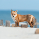 Red Fox on the Beach - PhotoDune Item for Sale