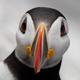 Atlantic Puffin Portrait - PhotoDune Item for Sale