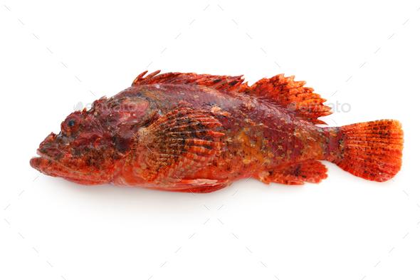 weedy stingfish - Stock Photo - Images