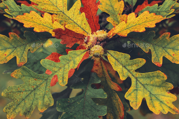 Oak leaves with acorns. Background image of leaves. - Stock Photo - Images