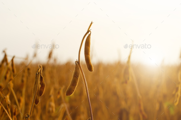 Ready for harvest ripe Soy pods on stem in the fields closeup view against sunlight summer time - Stock Photo - Images