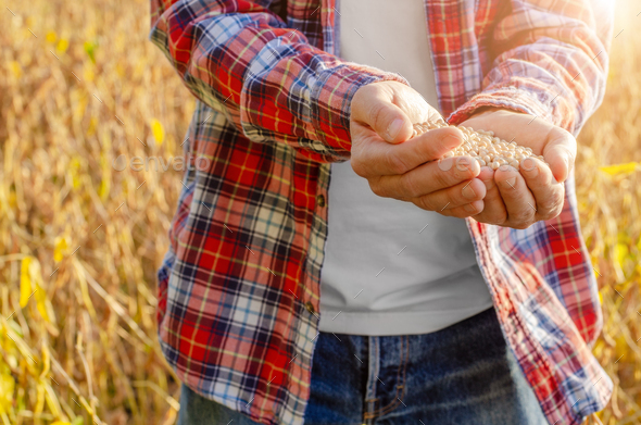 Handful of Soy beans in farmer hands on field background evening sunset time - Stock Photo - Images