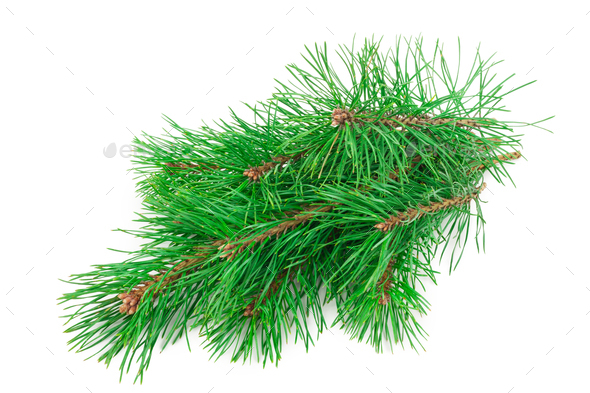 Pine branch on white background - Stock Photo - Images
