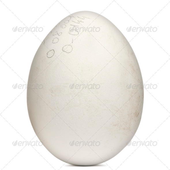 Egg of Griffon Vulture, Gyps fulvus, in front of white background - Stock Photo - Images