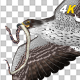 Snake Eagle with Caught Serpent - 4K Flying Transition - III - VideoHive Item for Sale