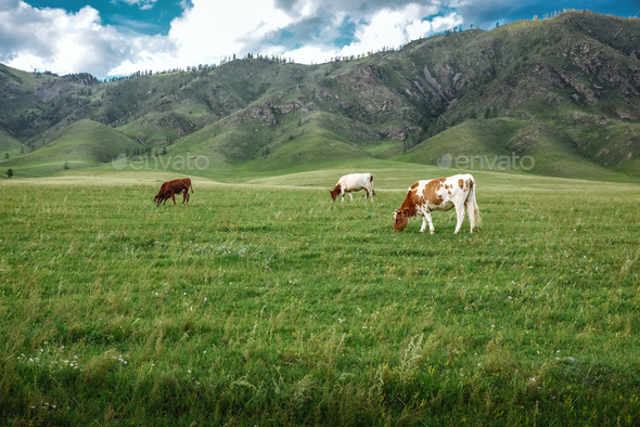 Cows graze on ecological meadows in the mountains - Stock Photo - Images