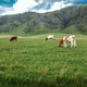 Cows graze on ecological meadows in the mountains - PhotoDune Item for Sale