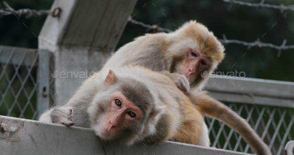 Monkey helps delousing each other - Stock Photo - Images