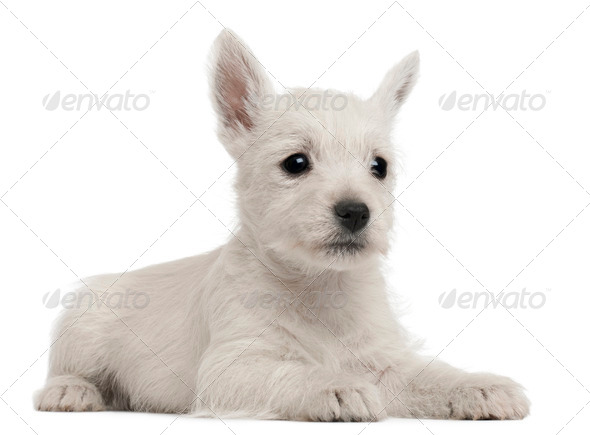 West Highland Terrier puppy, 7 weeks old, in front of white background - Stock Photo - Images