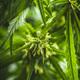 Marijuana bud flowers of cannabis - PhotoDune Item for Sale